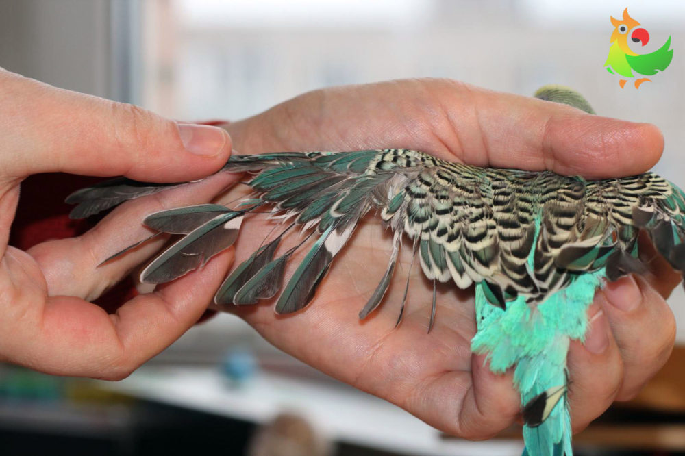 Пухопероед на крыле