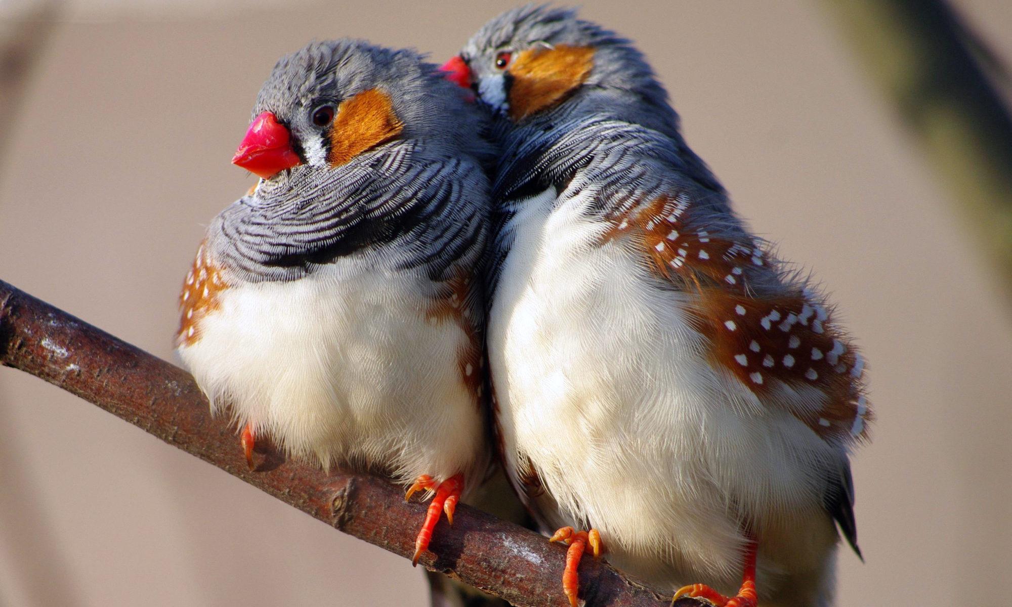 Пара птичек