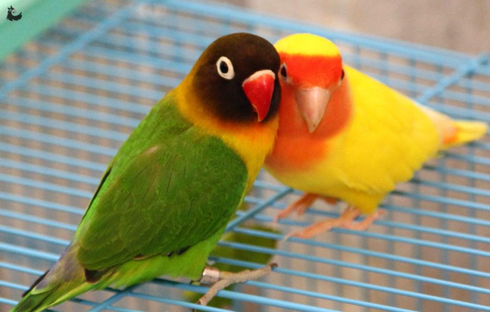 Два попугайчика