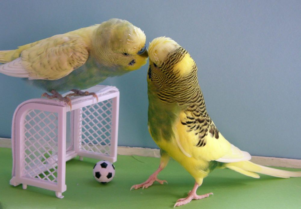 необходимости автовладелец волнистый попугайчик прикол картинка мама основательно готовилась
